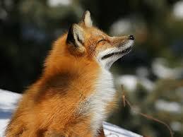 Loki fox 56789